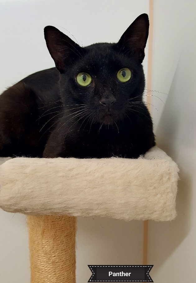 A Black Cat Named Panther