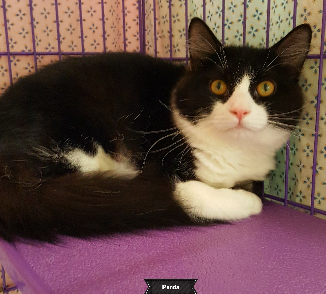 A Black and White Cat Named Panda